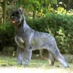 Candidato perro del año 2012 - Silversaga's Femme Fatale