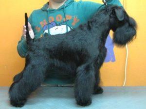 Candidato perro del año 2011 - Lotus de Montera del Torero