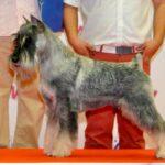 Candidato perro del año 2015 - Karbonado For Delfin Artaxs Angels